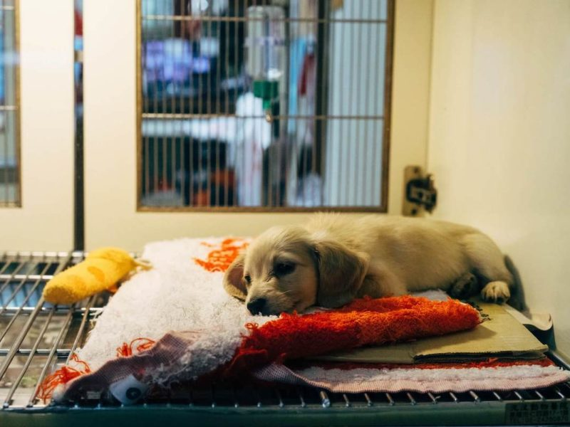 Puppy resting at animal hospital.